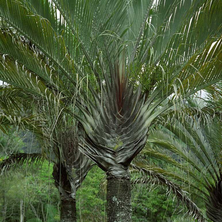 Dypsis Decaryi Palmeira Triangular - Jardim Roberto Burle Marx - Fazenda Vargem Grande - Areias/SP