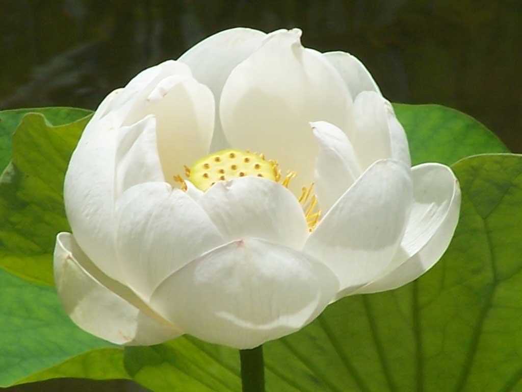 Nelumbo Nucifera Lotus Contemplação de plantas - Fazenda Vargem Grande - Areias/SP