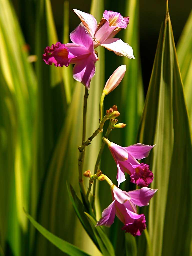 Arundina Graminifolia Orquídea Bambu Contemplação de plantas - Fazenda Vargem Grande - Areias/SP