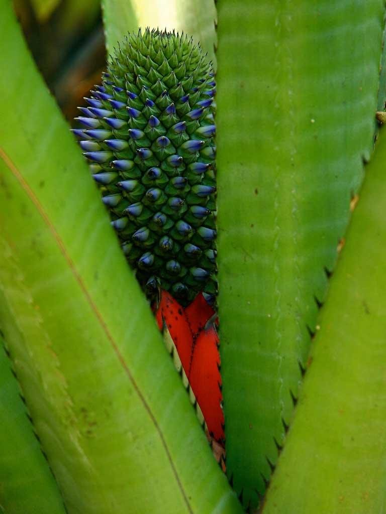 Bromeliaceae Contemplação de plantas - Fazenda Vargem Grande - Areias/SP