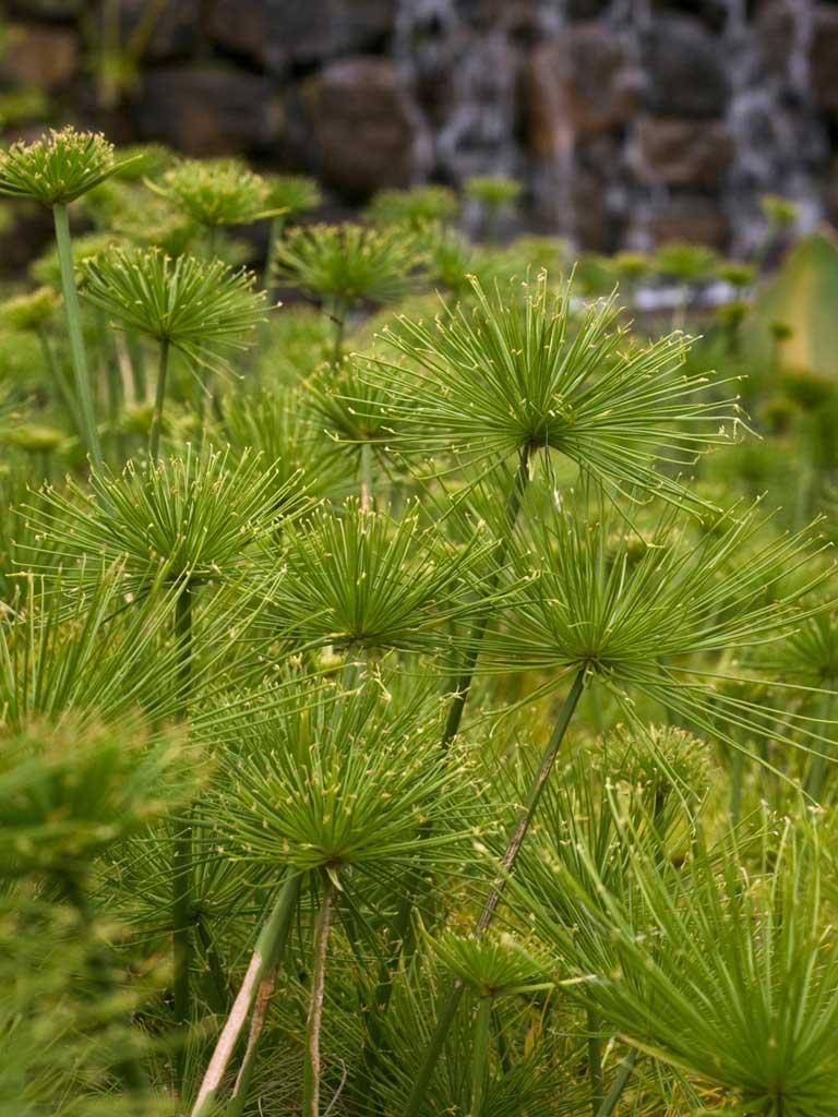 Cyperus Papirus Nanus Papiro Anão Contemplação de plantas - Fazenda Vargem Grande - Areias/SP