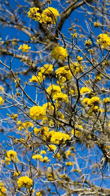 Handroanthus Serratifolius Ipê Amarelo - Jardim de Roberto Burle Marx - Fazenda Vargem Grande - Areias/SP